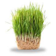 clump of green grass on a white background